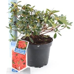 Rhododendron GEISHA ORANGE