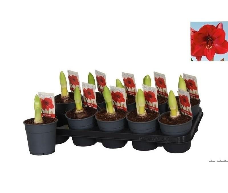 Hippeastrum 39 royal red 39 p12cm h25cm floraccess for Hippeastrum royal red entretien