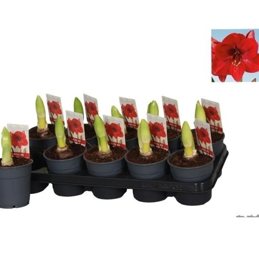 Hippeastrum 'Royal Red' (Vreugdenhil Bulbs & Plants)