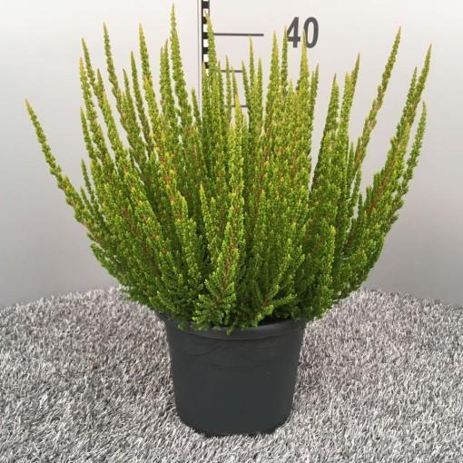 Calluna vulgaris SKYLINE STOCKHOLM (Experts in Green)