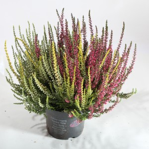 Calluna vulgaris GARDEN GIRLS MIX IN POT TRIO (Experts in Green)
