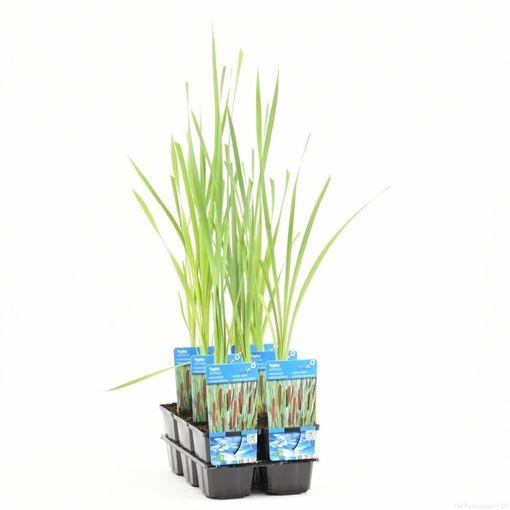Typha latifolia (Moerings Waterplanten)