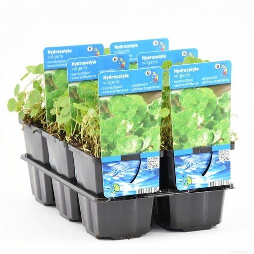 Hydrocotyle vulgaris (Moerings Waterplanten)