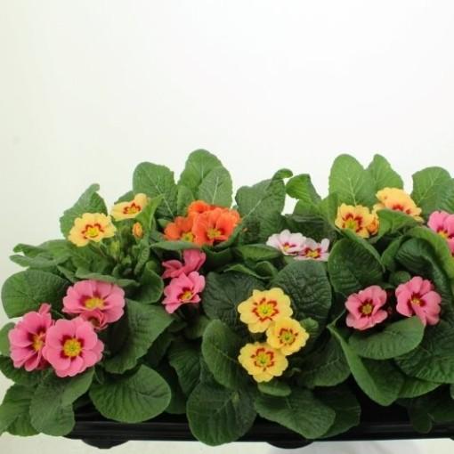 Primula RINGOSTAR MIX (Noordpoel, Kwekerij de)