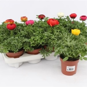 Ranunculus SPRINKLES MIX (Gebr. Grootscholten)