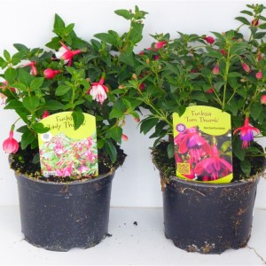 Fuchsia MIX (Experts in Green)