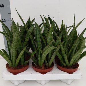 Sansevieria zeylanica 'Greenline'