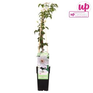 Clematis 'Miss Bateman' (Hoogeveen Plants)