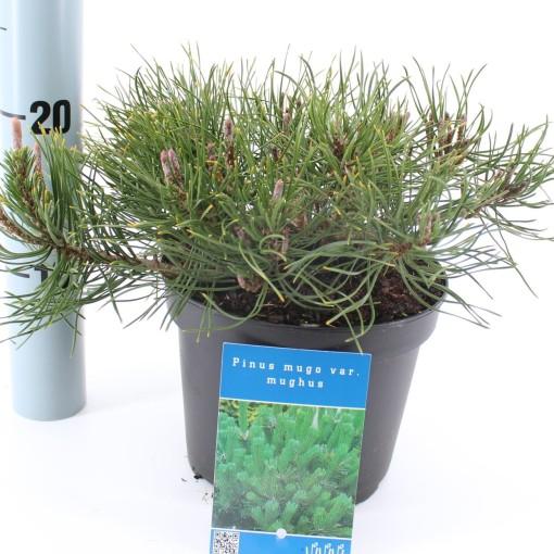 Pinus mugo mughus (About Plants Zundert BV)