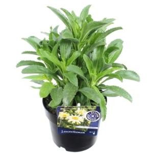 Leucanthemum 'Banana Cream' (Kwekerij de Noordpoel)