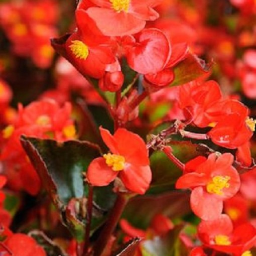 Begonia 'Bertini' (Admiraal Handelskwekerij)