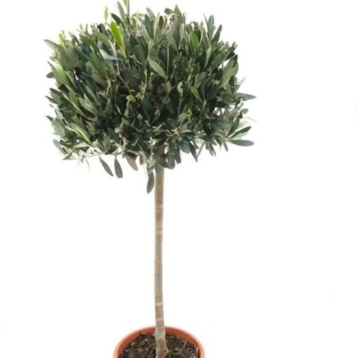 Olea europaea europaea (RM Plants)