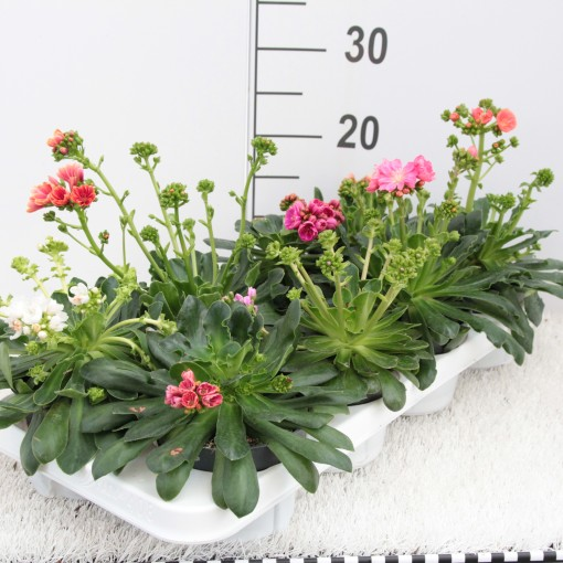 Lewisia cotyledon MIX (Experts in Green)