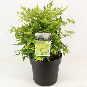 Nandina domestica LEMON & LIME