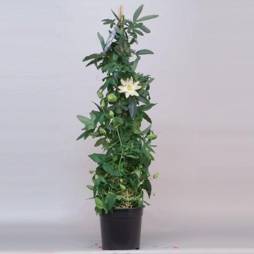 Passiflora caerulea 'Constance Elliott' (Seuren Rozenkwekerijen BV, Gebr.)