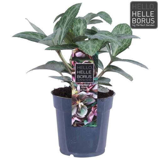 Helleborus lividus 'Lilac Marble' (Hoogeveen Plants)