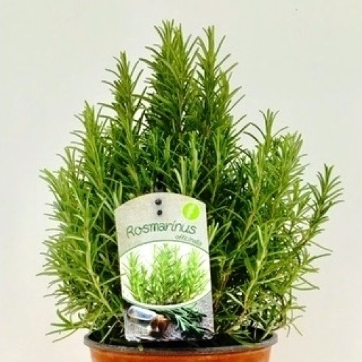 Rosmarinus officinalis (Green Collect Sales)