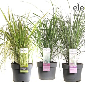 Calamagrostis MIX (Hoogeveen Plants)
