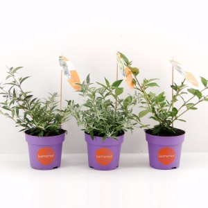 Buddleja SUMMERLOUNGE MIX