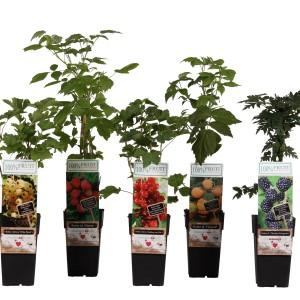Fruit  MIX (Hoogeveen Plants)