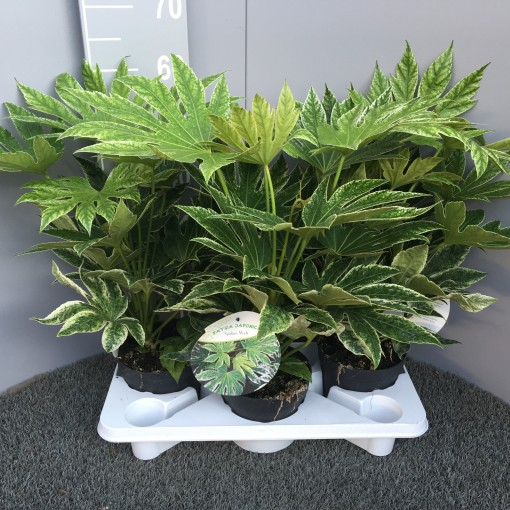Fatsia japonica 'Spider's Web' (Experts in Green)