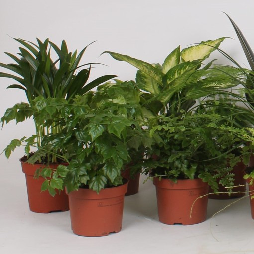 Houseplants MIX (Groot BV, Kwekerij J. de)