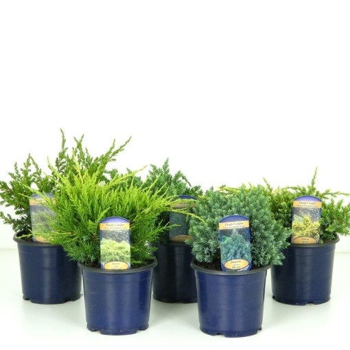 Juniperus MIX (Kwekerij Vredebest)