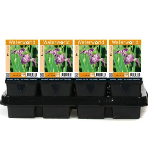 Iris versicolor (van der Velde Waterplanten BV)