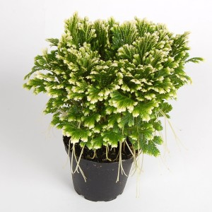 Selaginella martensii (Gasa DK)