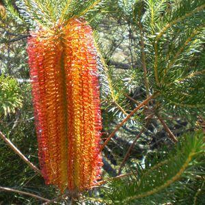 Banksia ericifolia (Flora Toscana)
