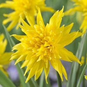 Narcissus 'Rip van Winkle' (Gebr. Straathof)