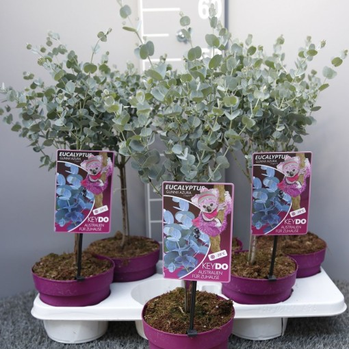 Eucalyptus gunnii AZURA (Experts in Green)