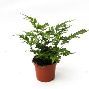 Pteris ensiformis 'Evergreen'