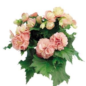 Begonia 'Christine'