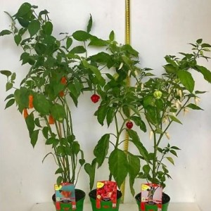 Capsicum chinense MIX