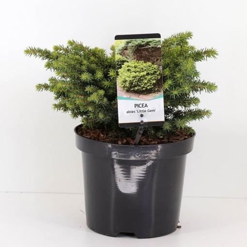Picea abies 'Little Gem' (Bremmer Boomkwekerijen)