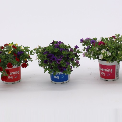Petunia MIX (Kwekerij Baas)