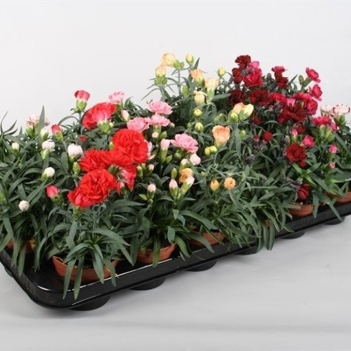 Dianthus MIX (Rodon Rolff B.V.)