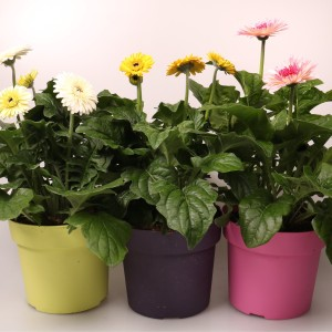 Gerbera PATIO MIX