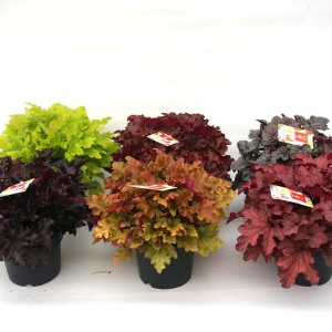 Heuchera INDIAN SUMMER MIX