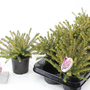 Erica x darleyensis 'Ghost Hills' (About Plants Zundert BV)