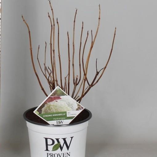 Hydrangea arborescens STRONG ANNABELLE / INCREDIBALL (De Jong Plant BV)