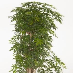 Schefflera arboricola 'Luseana'