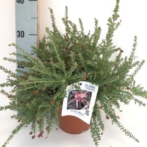 Grevillea 'Pepito' (Flora Toscana)