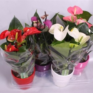 Anthurium MIX (Postplants)