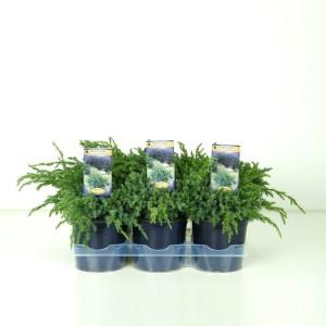Juniperus squamata 'Blue Carpet' (Kwekerij Vredebest)
