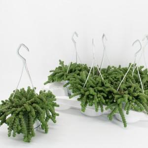 Crassula marnieriana 'Hottentot'