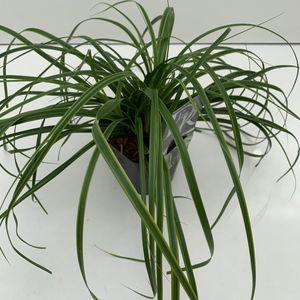 Carex oshimensis EVERCOLOR EVERLIME