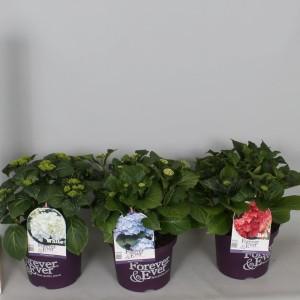 Hydrangea macrophylla FOREVER & EVER MIX (De Jong Plant BV)