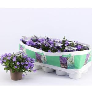 Campanula portenschlagiana 'Ambella Lavender'